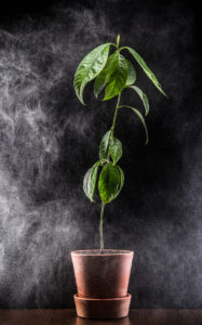 studio photograph of an avocado plant.